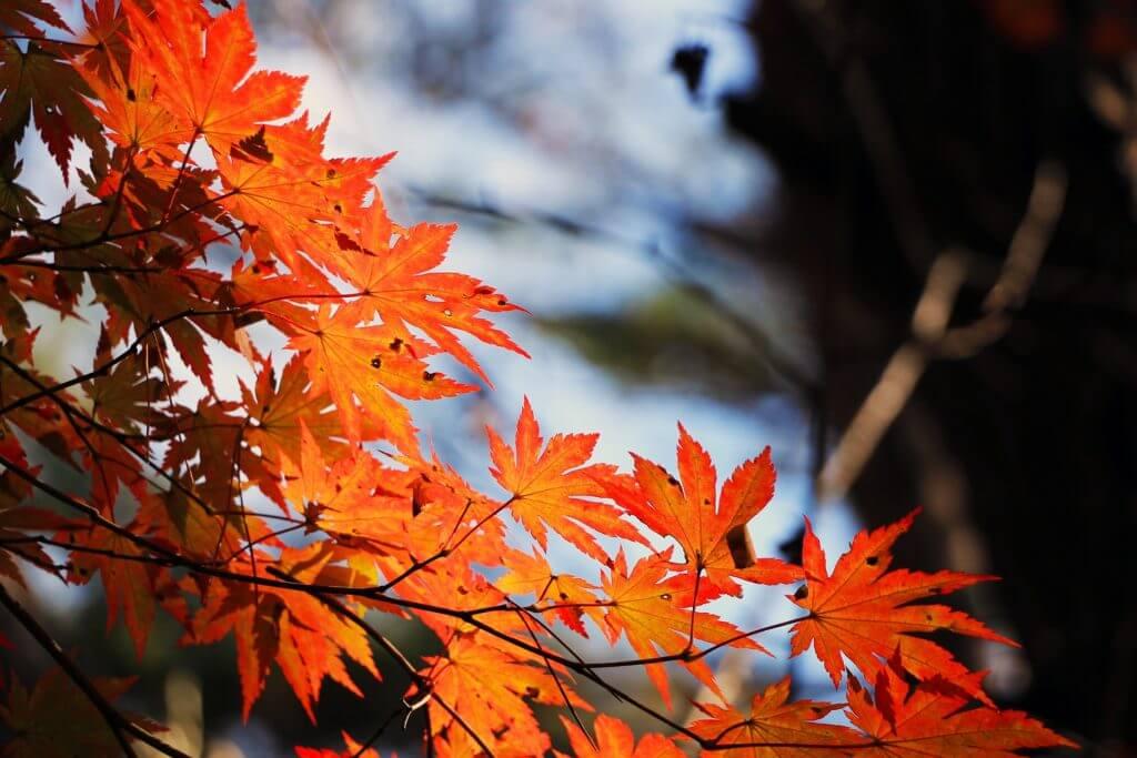 red-maple-leaf-507545.jpg